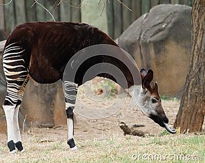 Okapi forest gerafe