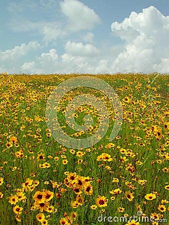 Okie Wildflowers