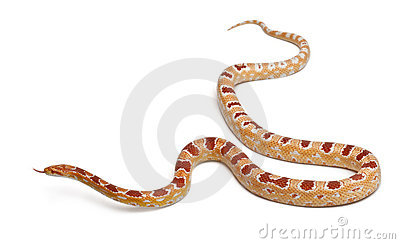 Okkeetee albinos reverse Corn Snake or Red Rat