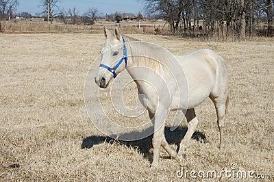 Oklahoma Arabian Horse