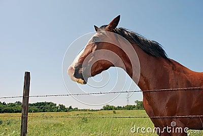 Oklahoma Horse Headshot