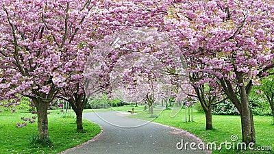 Okwitnięcia wiśni ścieżka