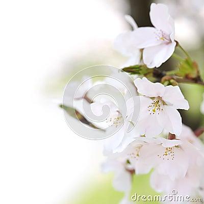 Okwitnięcie wiśnia