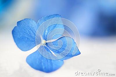 Okwitnięcia kwiatu ostrości hortensi płycizna pojedyncza