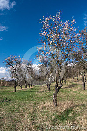 Old almond orchard