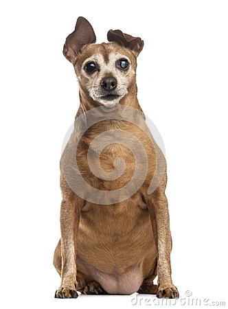Free Old And Fat Dog (9 Years Old) Royalty Free Stock Photography - 41269167