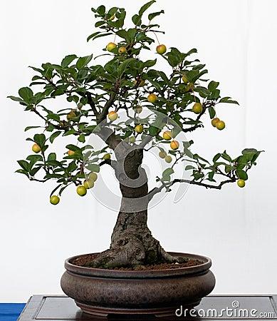 Free Old Apple Tree As Bonsai Stock Photos - 16116083