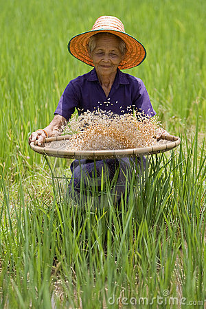 Old asian women sifts rice at the rice-field