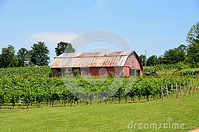 Old barn in vineyard