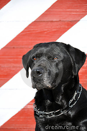 Old black Labrador
