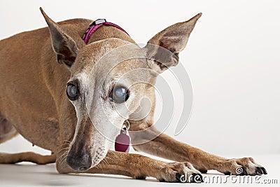 Old blind dog