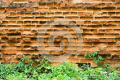 Old brick wall and wild grapes