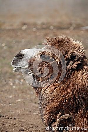 Old Camel