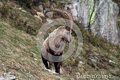 Old Capra Ibex