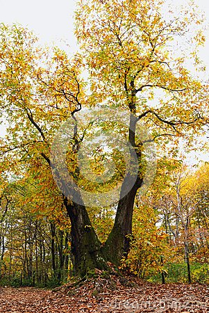 Old chestnut tree