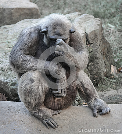 Free Old Chimpanzee Deep In Thoughts Or Grief Royalty Free Stock Image - 58962646