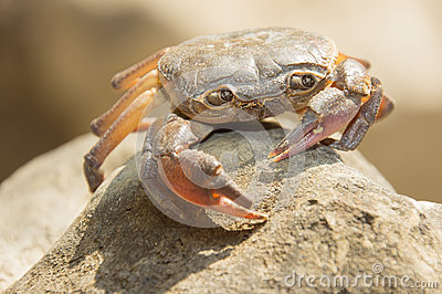 Old crab is the keeper of clean water
