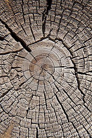 Old cut tree