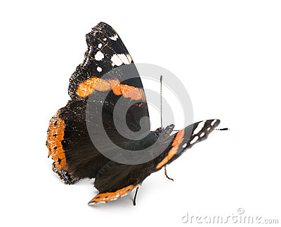 Old, damaged Red Admiral butterfly, Vanessa atalanta