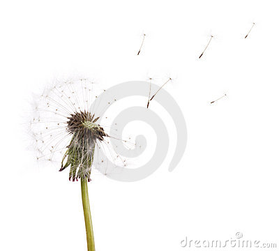 Free Old Dandelion And Flying Seeds On White Stock Photography - 14681272