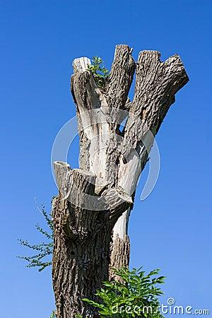 Old dead gray tree