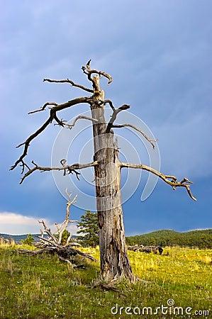 Old Dead Pondersoa Pine Tree
