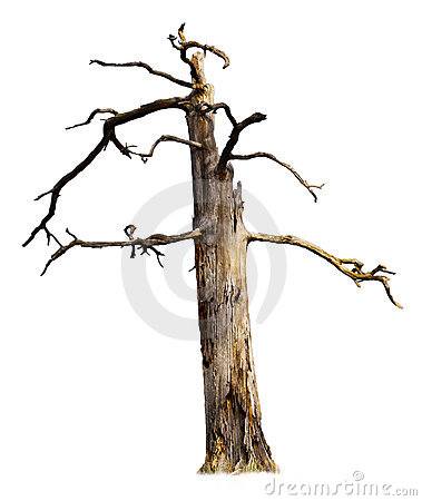 Old Dead Tree Isolated on White