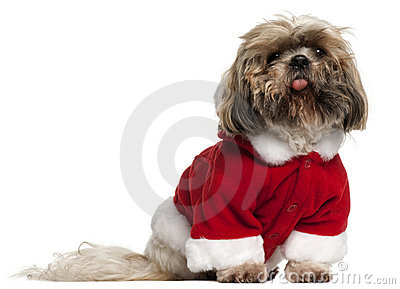 Old and dirty Shih Tzu in Santa outfit
