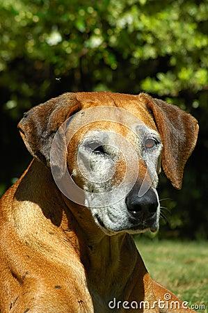 Old dog portrait