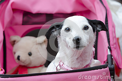 Old dog in pushchair