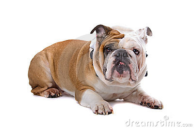 Old English bulldog