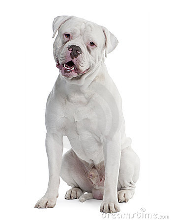 Old english Bulldog (2 years old)