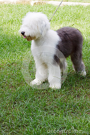 Old english sheep dog standing in green grass fiel