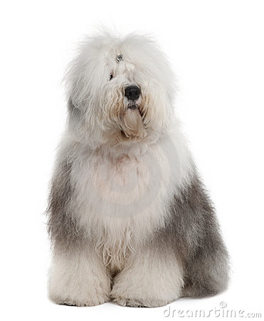 Old English Sheepdog Puppy Stock Image - Image: 25019541