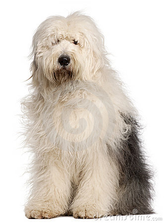Free Old English Sheepdog, 2 And A Half Years Old Stock Image - 18989721