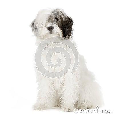 Free Old English Sheepdog Royalty Free Stock Photos - 2329508