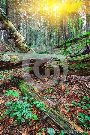 Free Old Fallen Trees In The Forest. Stock Photos - 127851713
