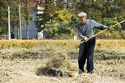 The old farmer harvesting wheat straw Editorial Stock Photo