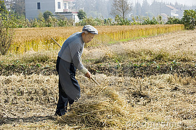 The old farmer harvesting wheat straw Editorial Image