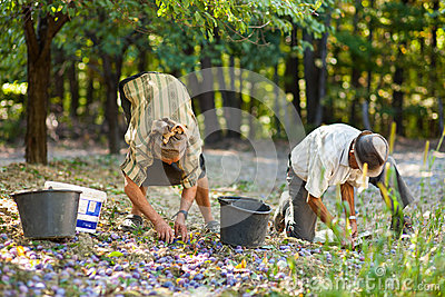 Old farmers picking plums