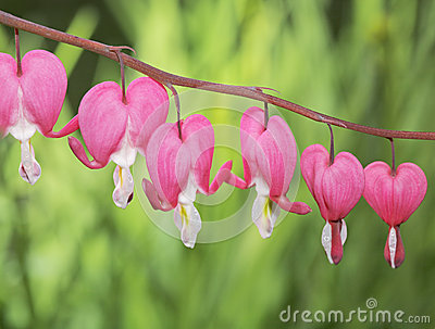 Old-Fashioned bleeding-heart