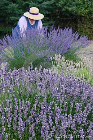 Old-fashioned lavendar gardener