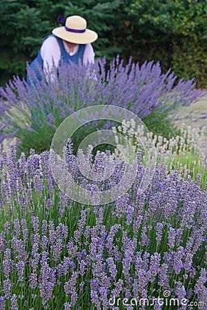Old-fashioned lavendar gardener