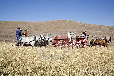 Old fashioned wheat harvesting. Editorial Stock Photo