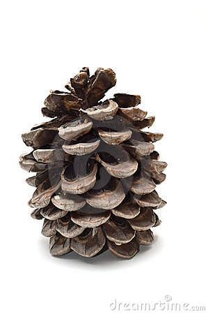 Old fat pine cone