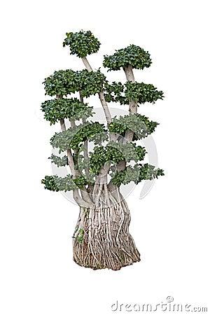 Old ficus bonsai dwarf tree
