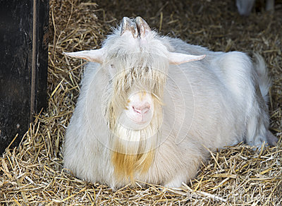 Old goat on the farm