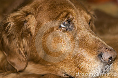 Old golden retriever laying down