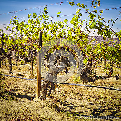 Free Old Grape Vines, Guadalupe Valley, Mexico Royalty Free Stock Photography - 61703287