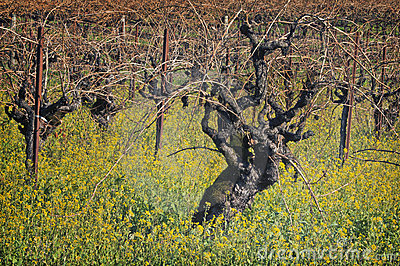 Old Grape Vines, Napa Valley, California